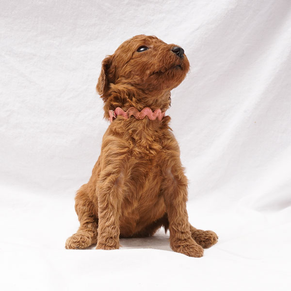 Puppy 1- Medium Pink Collar