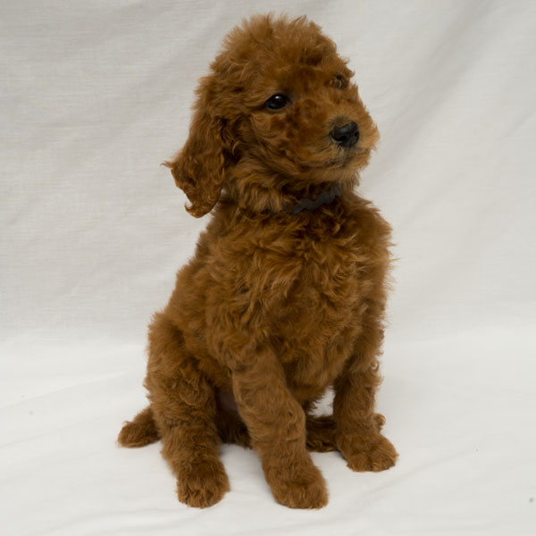 Red Standard Poodle Puppies Sold